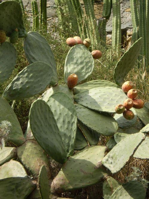 kaktusas,į pietus,dygliuotas,gėlės,augalas,augmenija,egzotiškas,flora,gražus,kaktusas žiedas,Uždaryti