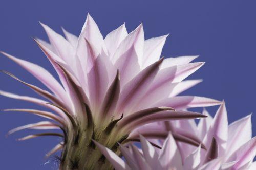 kaktusas,gėlė,žydintis kaktusas,mėlynas,rožinis,dangus