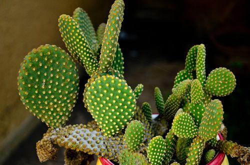 cactus spina green