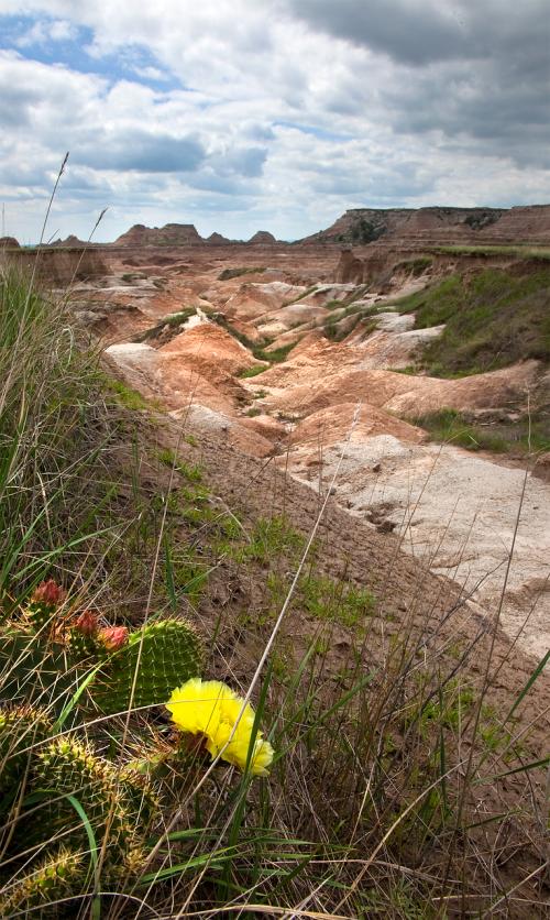 kaktusas, gėlė, montana, žydi, dykuma, amerikietis, lauke, Wildflower