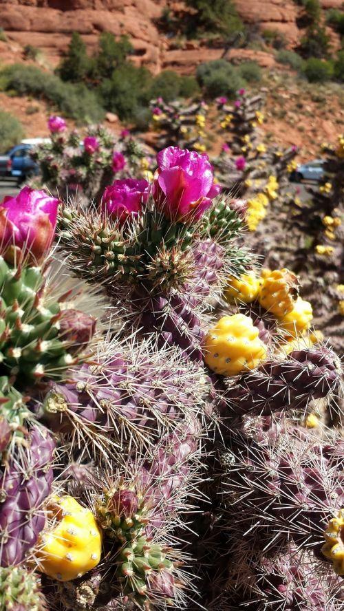 kaktusas,gėlė,dykuma,botanika