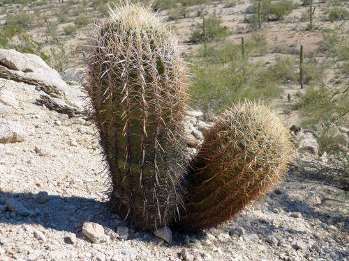 cactus arizona spur