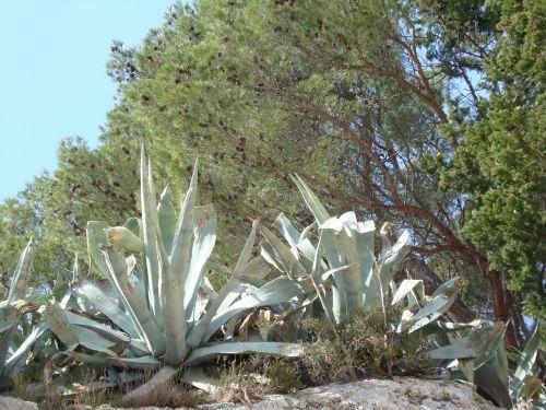 cactus mediterranean mediterranean sea