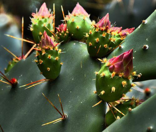 cactus blossom nature spur