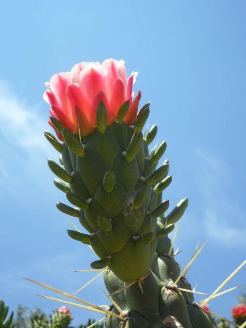 kaktusas žiedas,žydėti,kaktusas,flora,augalas,žiedas,žydėti,kaktusas šiltnamius,rožinis,gražus,į pietus,kaktusinė gėlė,augmenija,egzotiškas,exot,gėlė,dangus,Uždaryti