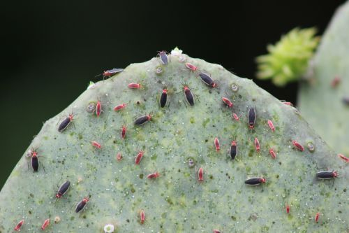 Cactus Bugs And Their Nymphs