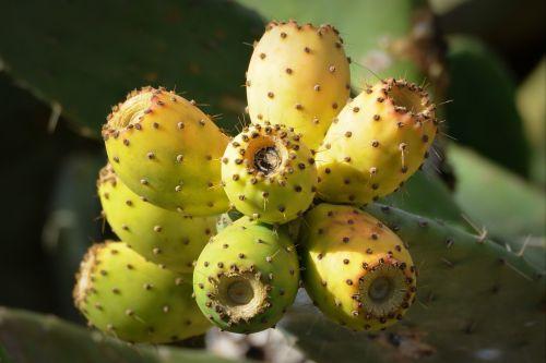 cactus figs fruit nature