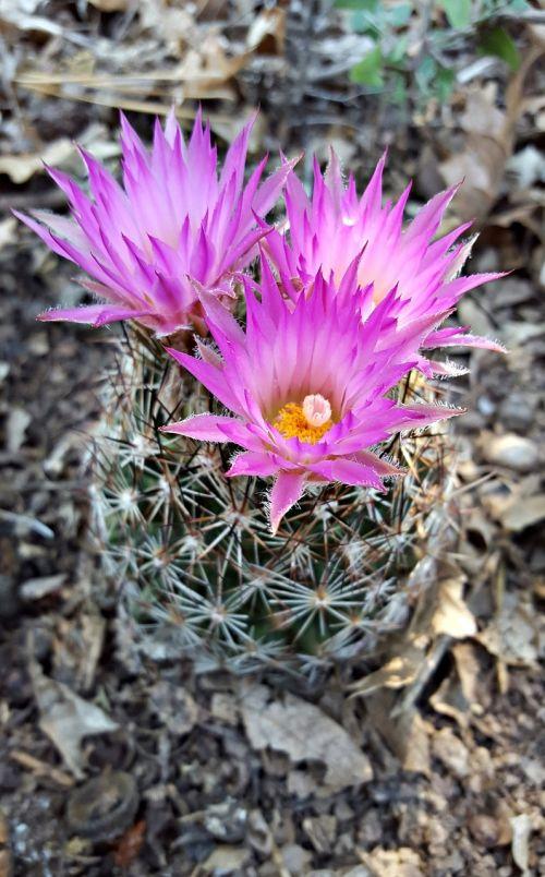 cactus flower bisbee spiny star cactus flower