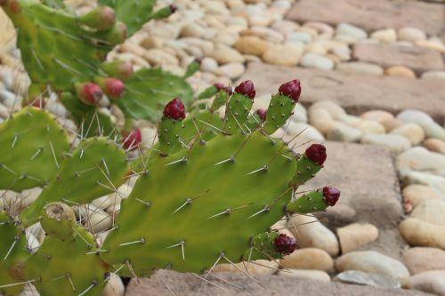 cactus flowers cactus bloom