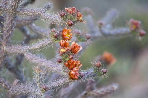 kaktusas, vaisiai, gamta, kraštovaizdis, kaktusas vaisius
