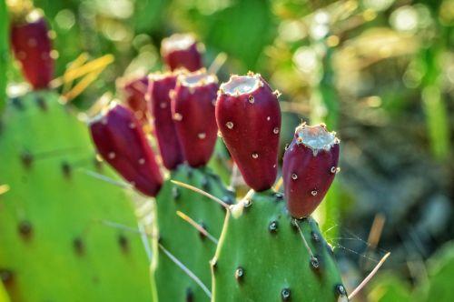 kaktusiniai vaisiai,kaktusas augalas,gamta,augalas,šuoliai,erškėčių,siaubingas augalas