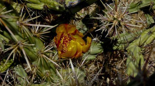 kaktusas, žydėti, gėlė, dykuma & nbsp, augalas, smailas, oranžinė, raudona, geltona, kaktusas žydi