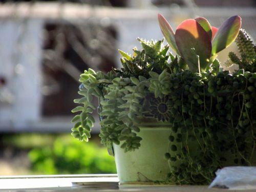 kaktusas, puodą, žalias, kaktusas žaliame puodelyje