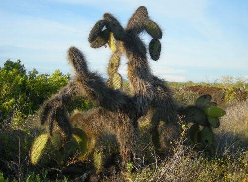 Cactus On Galapagos Island