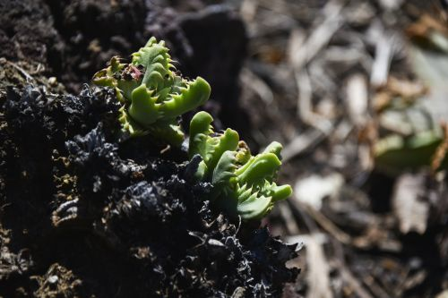 dantys, kaktusas, mažas, žalias, kraštas, atvira & nbsp, burnos, profilis, Iš arti, kaktusas dantis