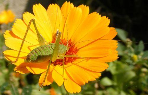 caelifera close-up flower