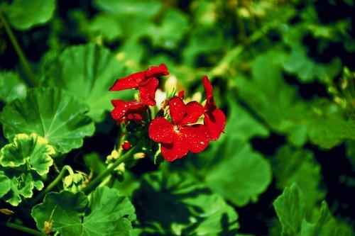 caesalpinia  americas  fabaceae