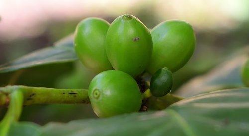 cafe de colombia  nature  cultivation