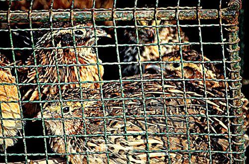 Caged Quail