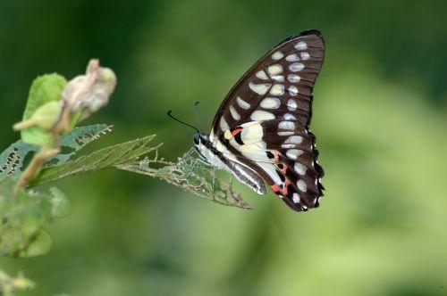 cai long yu taiwan green-spotted swallowtail