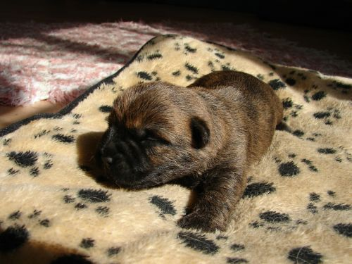 cairn terriers dog puppy