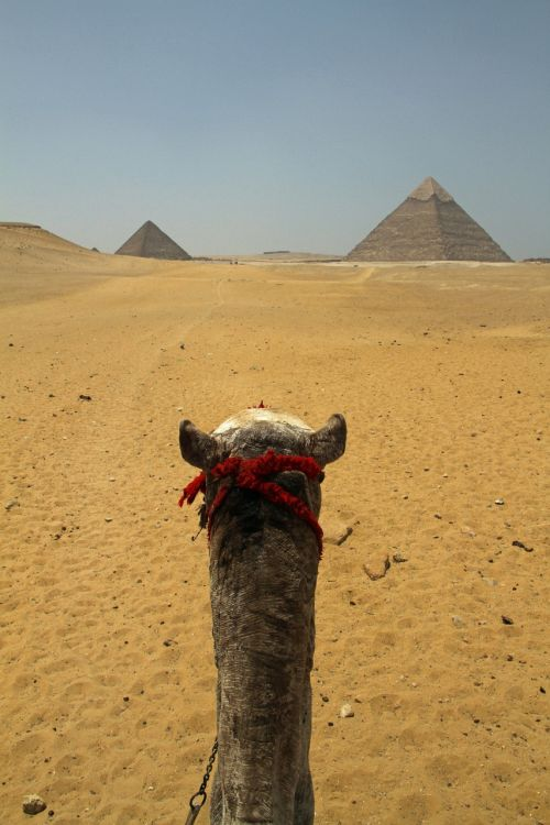 cairo egypt camel