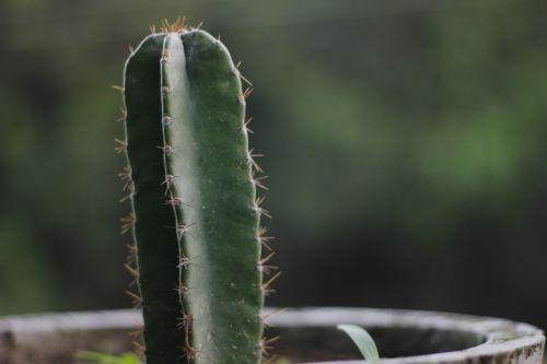 kaktusas,nagfani,dygliuotas kriaušes,augalas,žalias,puodai,erškėčių