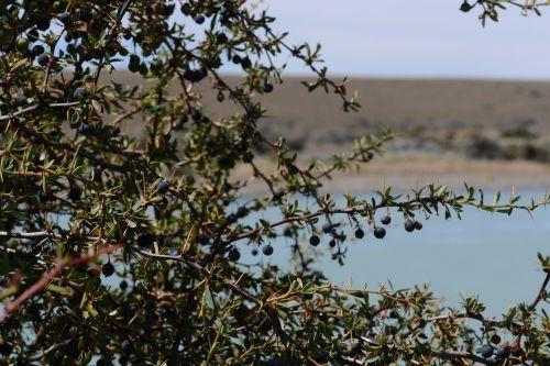 calafate fruit patagonia