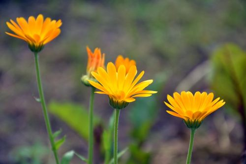 calendula calendula officinalis flower