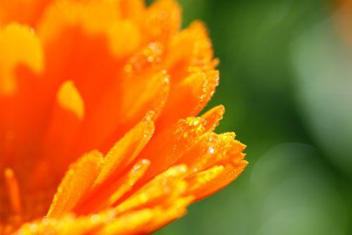 calendula medicinal plant nature