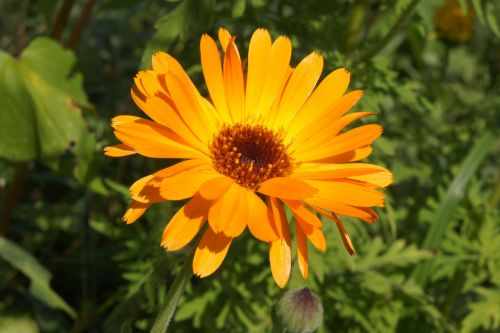 calendula marigold orange