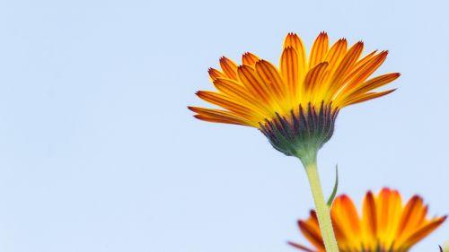 calendula calendula flower flowers