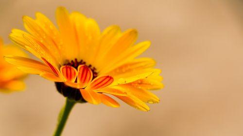 calendula yellow calendula flower flowers