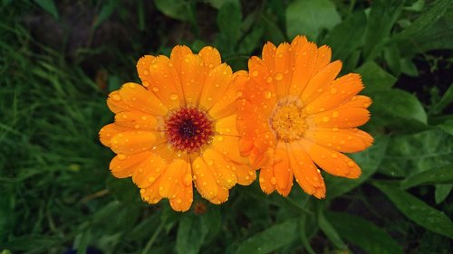 calendula  flower  marigold