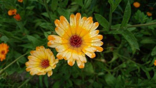 calendula  marigold  flowers