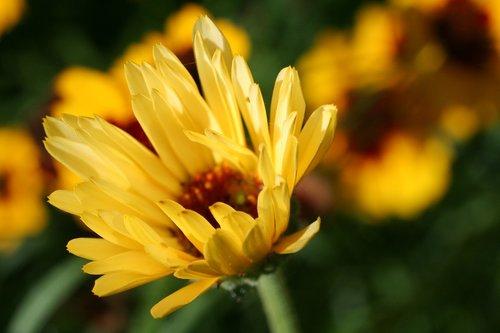 calendula  perennial  blooming