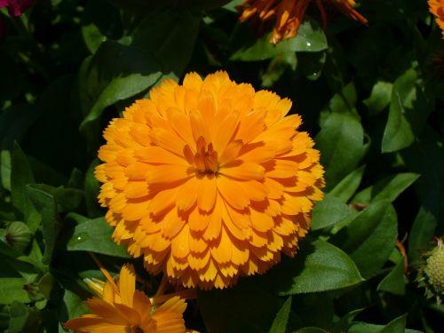 kalendra,marigoldas,calendula officinalis,geltona,vasara,gėlė,sodas