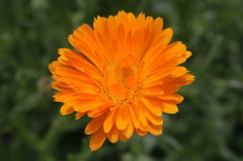 calendula close-up flowers