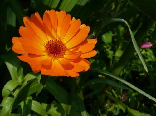 calendula officinalis,marigoldas,gėlės,oranžinė gėlė