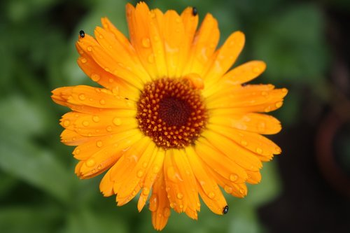 calendula officinalis  marigold  calendula