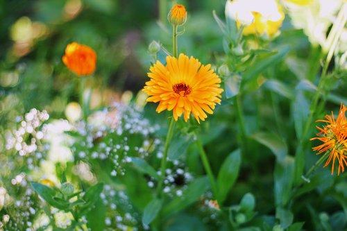 calendula officinalis  garden  flower
