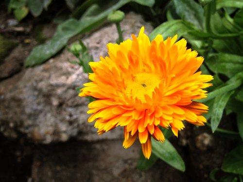 calendula officinalis  pot  medicinal