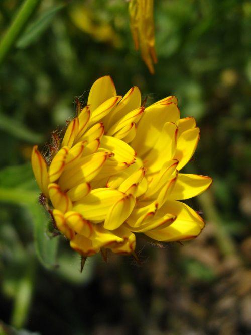 calendula officinalis pot marigold calendula