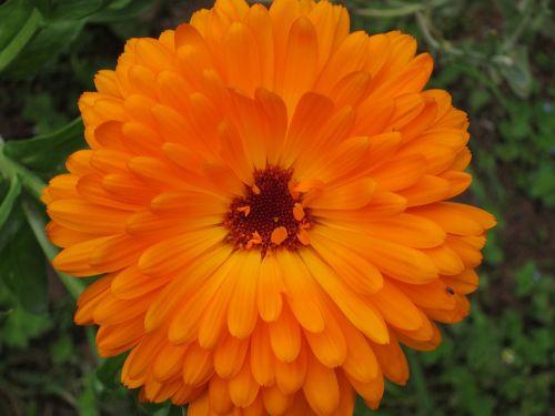 calendula officinalis marigold flower