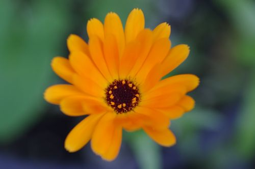 kalendra, officinalis, marigoldas, gėlė, auksas, fonas, tapetai, gamta, svajonė, minkštas, nuotaika, svajingas, gijimas, oda, calendula officinalis