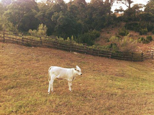 calf farm animals farm