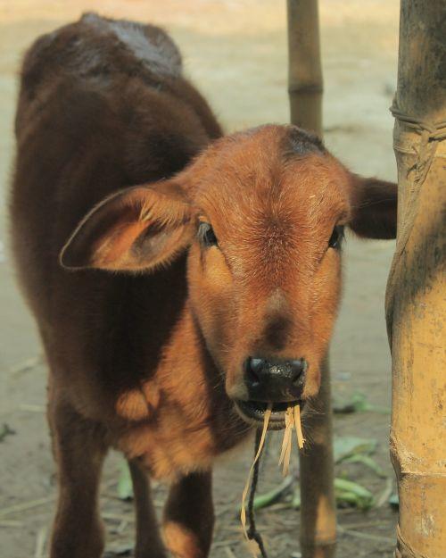 calf calf eating morning