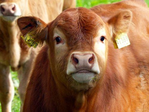 calf beef young calf