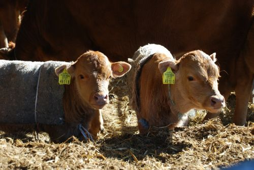 calf brothers feeling winter