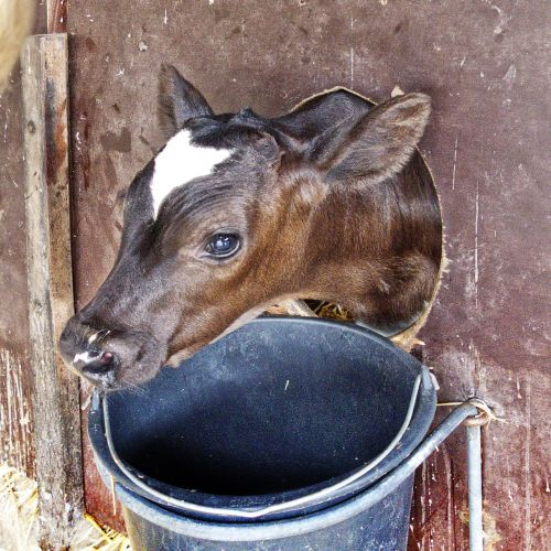 calf kälberbox beef